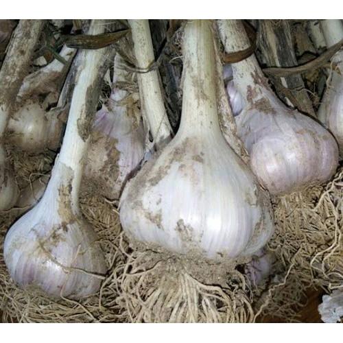 세계로교회 세계로농원의 국산 밭마늘 (한접)