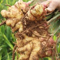 금산 받들교회 김명준 목사의 유기농 생강 1kg (신품종/토종)