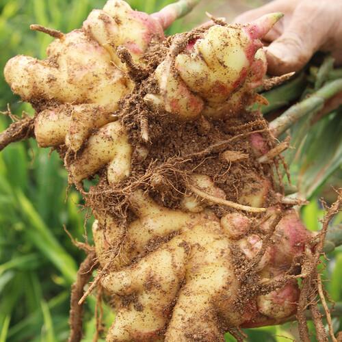 금산 받들교회 김명준 목사의 유기농 토종생강 1kg