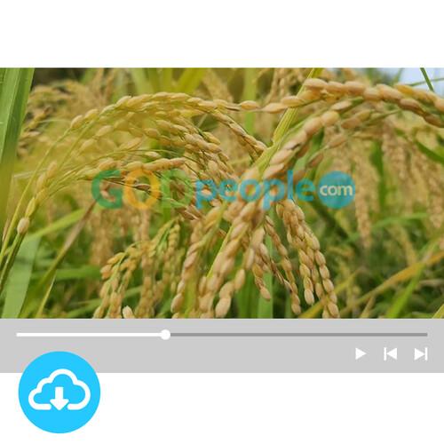 예배용 영상클립(배경)1 by 니카 / 추수감사 / 가을 / 벼 / 이메일 발송(파일)